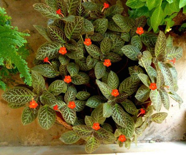 Красивое растение с алыми соцветиями.