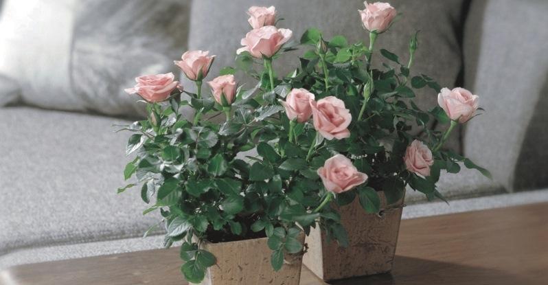 Домашняя или комнатная роза - уход и выращивание
