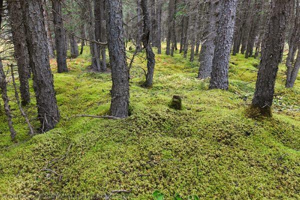 Произрастает мох в лесной и горной местности
