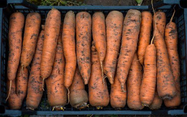 Овощи укладывают в ящик, предварительно обработанный от плесени