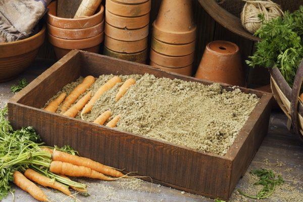 В песке корнеплоды долго сохраняют свежесть и сочность