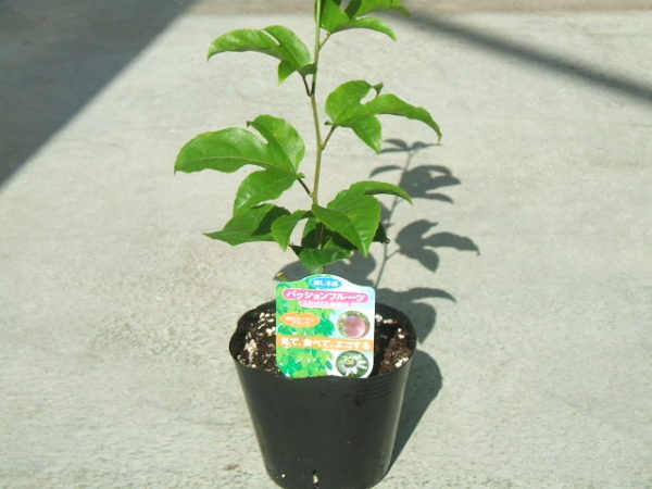 Подрощенное растение с закрытой корневой системой.