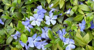 Нежные голубые соцветия культуры.