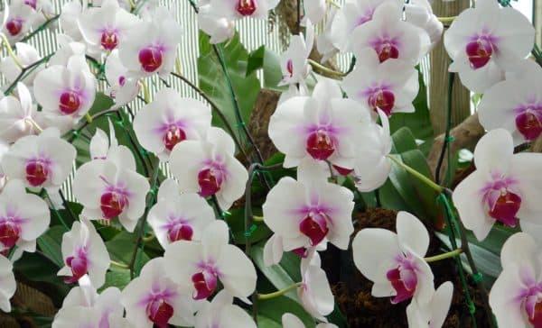 Лепестки орхидеи, похожие на крылья бабочек.