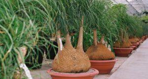 Декоративная пальма.