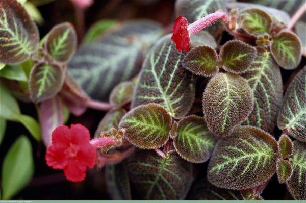 Стелющееся растение с яркими цветками.