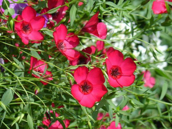 Декоративные сорта льна с очаровательными цветами подходят для выращивания на участках и в кашпо.