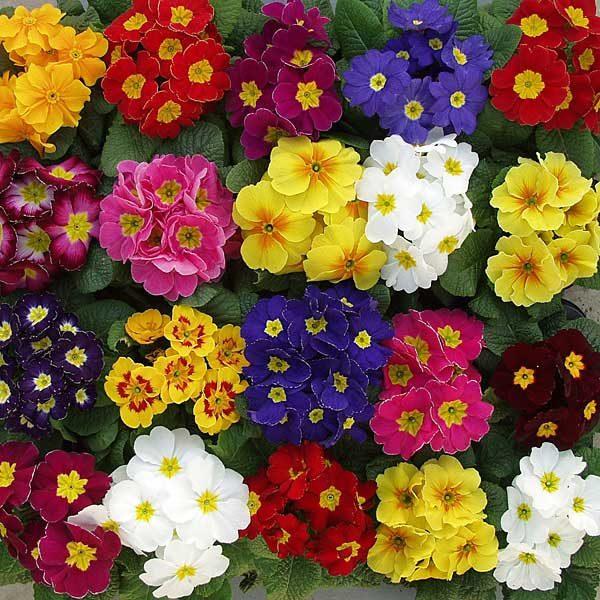 Многоцветье примул поражает своим великолепием, цветение начинается в апреле и длится до осени. Некоторые сорта зацветают именно осенью.