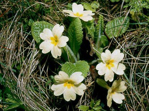 """Очаровательные бесстебельные примулы цветут огромными цветами с контрастным пятном в центре. """"Букет"""" появляется в центре розетки."""