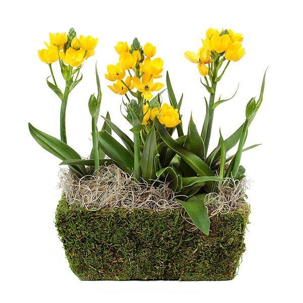 Желтые соцветия на растении с открытой корневой системой.