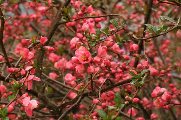 Айва красиво цветет розовыми или белыми цветами.