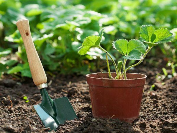 """Молодые растения клубники и земляники высаживают в открытый грунт,, стараясь не заглублять кусты и не засыпать """"сердечко""""."""