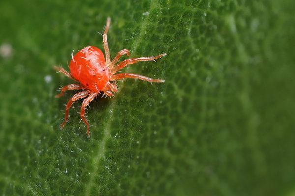 Красное насекомое.