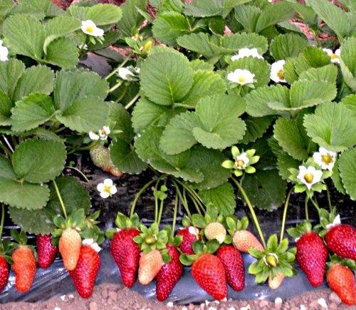 Выращенные из семян кустики земляники или клубники могут дать первый урожай уже в конце сезона.