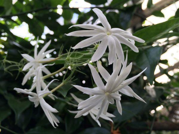 Жасмин цветет в разное время в зависимости от вида.
