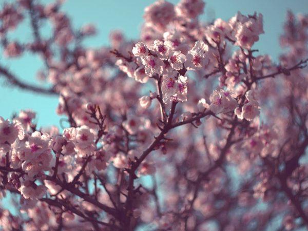 На иллюстрации - фотография распустившихся цветков дерева