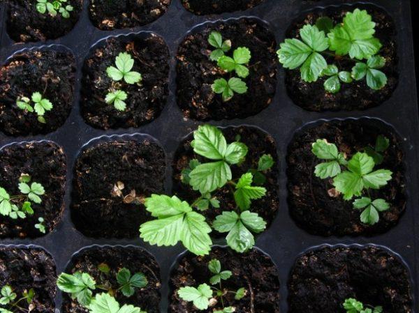 Очень часто неправильная пикировка сеянцев клубники приводит к гибели растений.