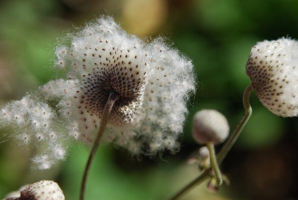 Семена анемона