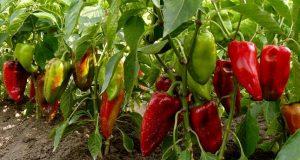 Овощные культуры, политые вовремя, обеспечат богатый урожай.