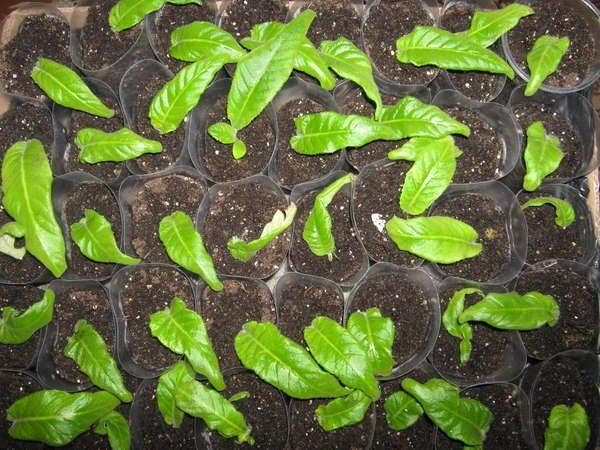 Размножение семенами - трудоемкий и сложный процесс