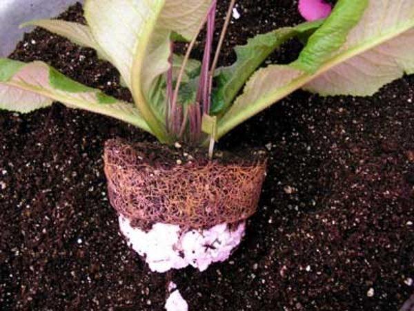 Пересадку производят в горшок большего размера, слишком крупное растение делят на части