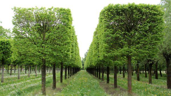 Аккуратные деревья в саду.