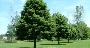 Раскидистое дерево в открытом грунте.