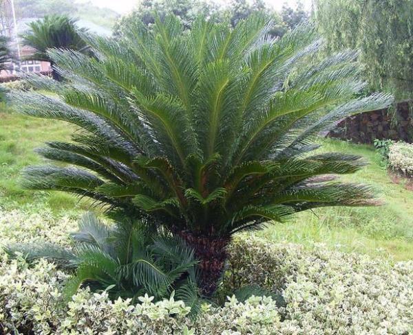 Растение прекрасно себя чувствует на открытом воздухе