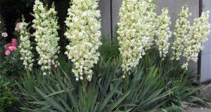 Во время цветения это растение выглядит просто неотразимо.