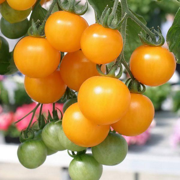 Оранжевые мелкие томаты выглядят ярко и нарядно на светлом подоконнике.