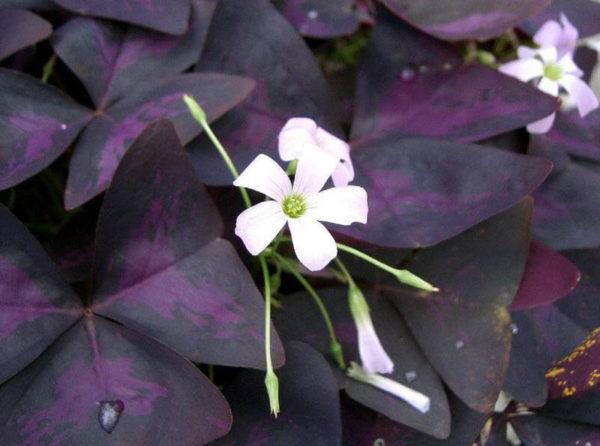 Кислица с фиолетовыми листьями.