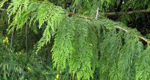 Широкая зеленая ветвь туи складчатой с поникшими побегами.