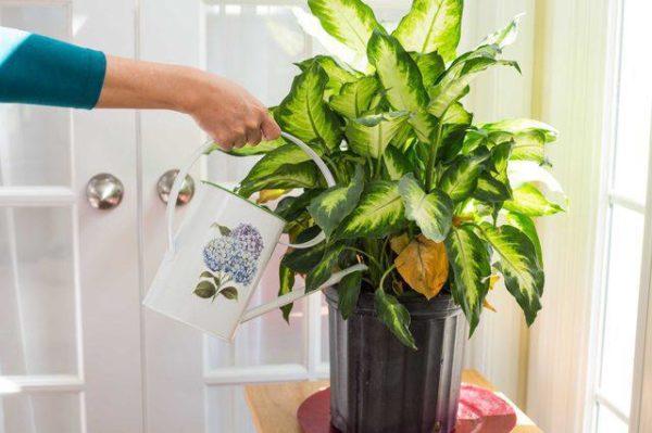 Поливают растение мягкой теплой водой.