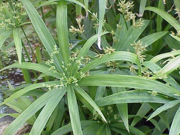 Растение цветет невзрачными цветами.