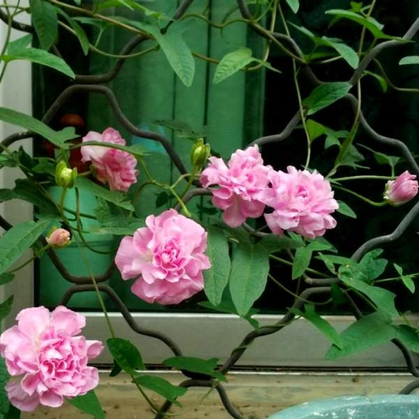 Эффектные розовые цветы повоя.