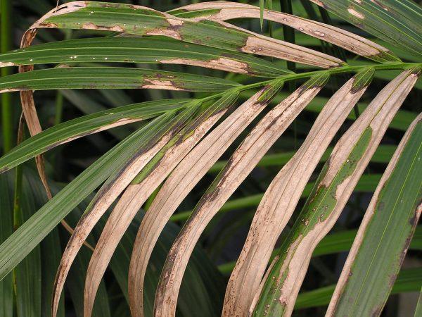 Появление пятен на листьях пальмы.