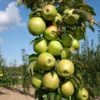 Плодовое дерево.