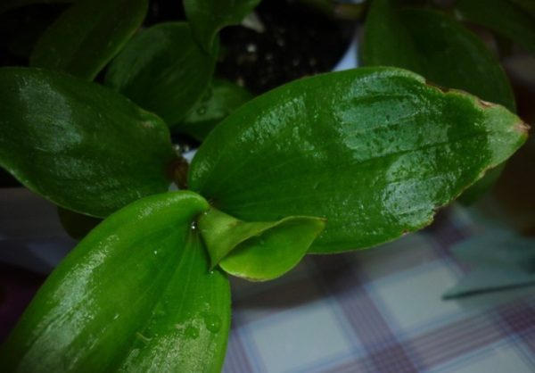 Мелкие вдавленные точки на листьях.