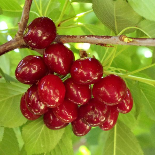 дикая вишня картинка дерева юный мангуст, которого