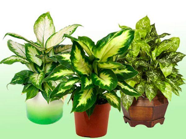 Красивое окаймление и компактная форма - это растение находка для домашней оранжереи.
