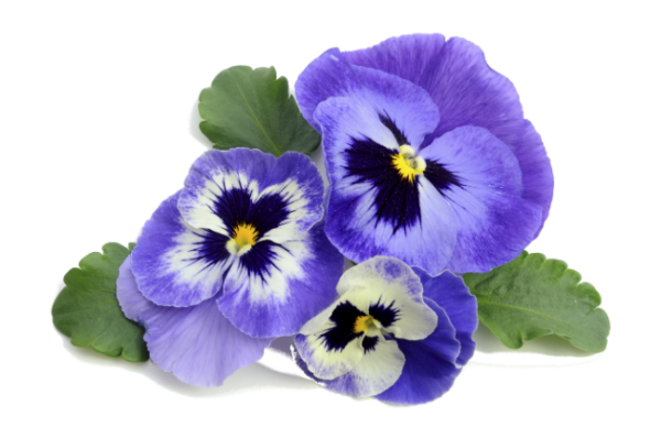 Крупные цветы украшают кусты двухлетних сортов только следующей весной.