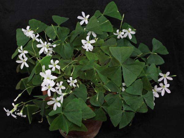 Кислица с зелеными листочками и белыми мелкими цветками.