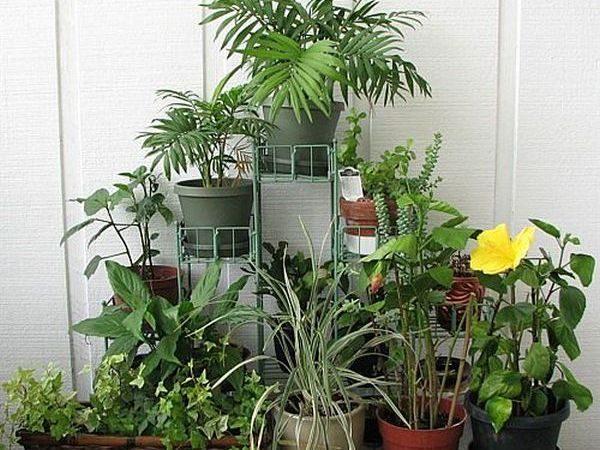 Декоративно-лиственные и цветущие комнатные цветы.