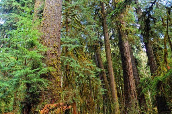 Высокие деревья складчатой туи.