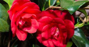 Красные цветы камелии.