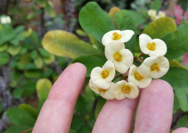 Мелкие бело-желтые цветки молочая.