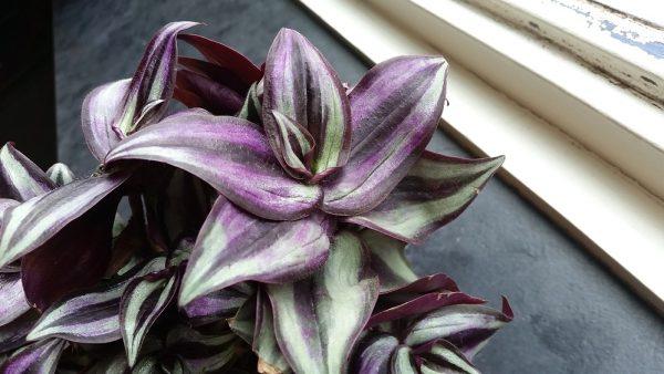 Пестролистное растение с пурпурными полосками на листьях.