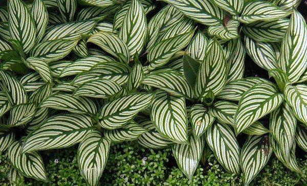 Красивые пестрые листья с густыми белыми полосками на зеленом фоне.