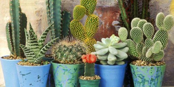 Много разнообразных кактусов.