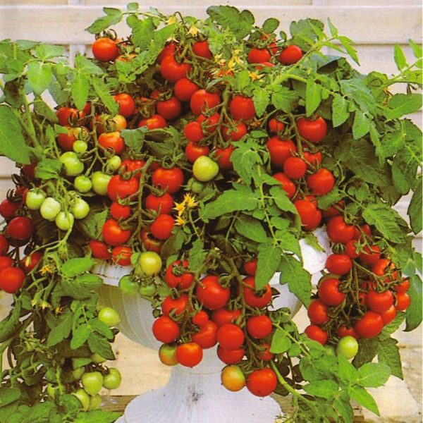 Обильный урожай комнтаных помидоров.